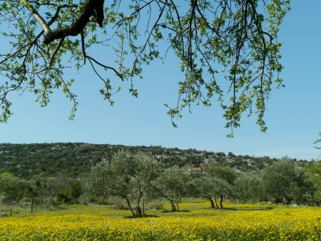 hawkweed:  Yellow flowering hawkweed  hieracium  in an orchard with olive trees in spring in Croatia Stock Photo