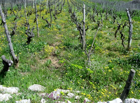 hawkweed: A small scale wine vineyard in Croatia with yellow flowering hawkweed plants in spring Stock Photo