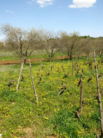 A small scale wine vineyard in Croatia with yellow flowering hawkweed plants in spring Stock Photo - 19220625