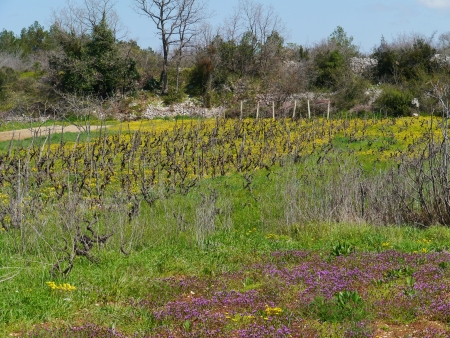 vinery: A small scale wine vineyard in Croatia with yellow flowering hawkweed plants in spring Stock Photo