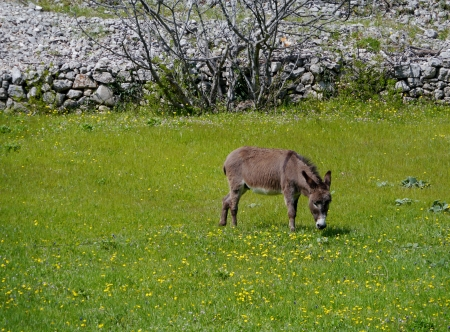 A donkey in a green meadow with flowers in spring in Croatia Stock Photo - 19220624