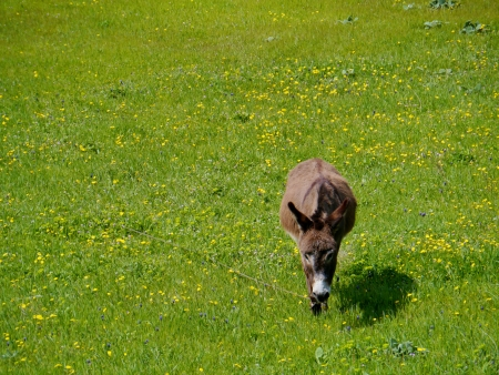 A donkey in a green meadow with flowers in spring in Croatia Stock Photo - 19220627