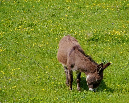 A donkey in a green meadow with flowers in spring in Croatia Stock Photo - 19220617