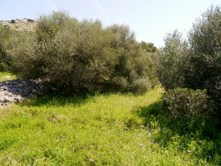 Pine trees on the island Dugi Otok in Croatia Stock Photo - 19220629