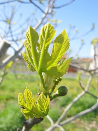 The first leaves and fruits in a fig tree in spring Stock Photo - 19220647