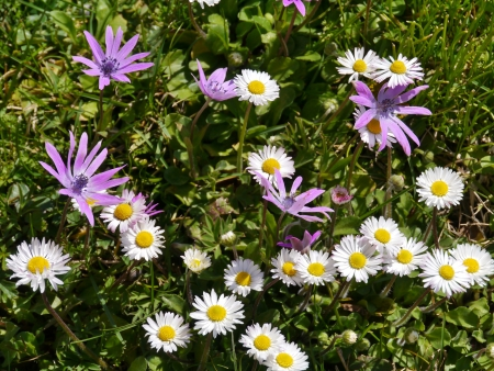 Grass with anemone and daisy flowers in pastel colors in a park in spring photo