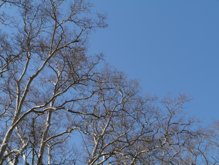 Barren branches of a platanus tree opposite a blue sky in spring Stock Photo - 19220746