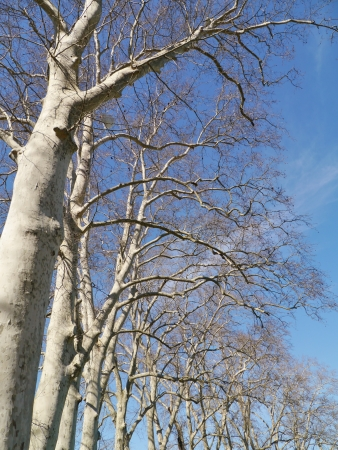 Barren branches of a platanus tree opposite a blue sky in spring Stock Photo - 19220770