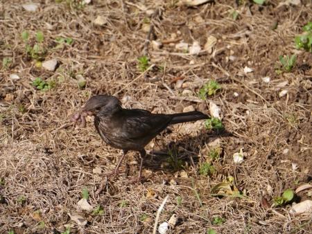 A black bird with an earth worm Stock Photo - 19220701