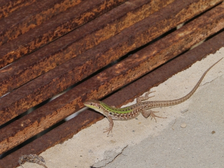 A lizard on a rusty metal raster on a sunny day in spring Stock Photo - 19220646