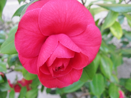 Red flowering camellia Japonica Stock Photo - 19216315