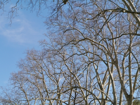 Barren branches of a platanus tree opposite a blue sky in spring Stock Photo - 19220771