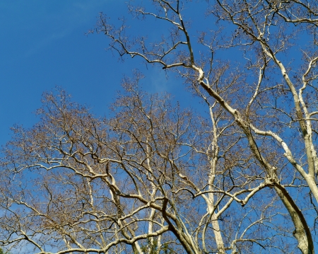 Barren branches of a platanus tree opposite a blue sky in spring Stock Photo - 20466295