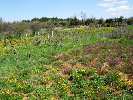 hawkweed: A small scale wine vineyard in Croatia with yellow flowering hawkweed plants in spring Stock Photo