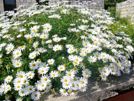 White marguerites photo