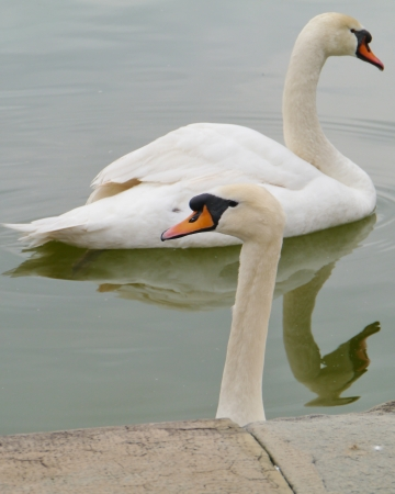 olur: Portrait of two mute swans  cygnus olur  in a pool