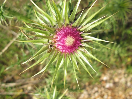 The opening bud of a plume thistle  cirsium vulgare  photo
