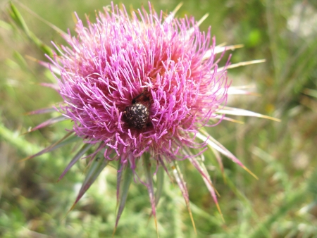 A flowering plume thistle  cirsium vulgare  with a beetle photo