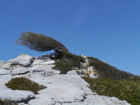 A tree on the top of a hill in the Kornati national park in Croatia shaped by the wind photo