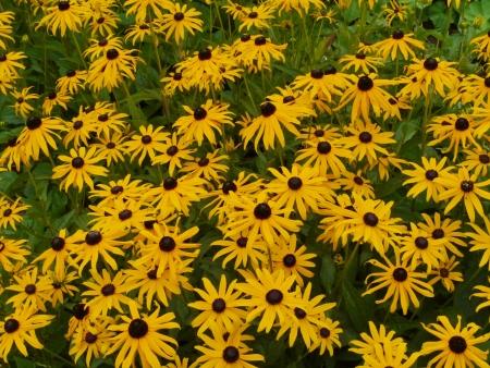 coneflowers: A field of yellow cone flowers  Ratibida pinnata  of the