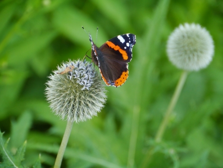 Red admiral  buddleja davidii  butterfly on a great globe thistle  echinops spheerosphalus  or pale globe-thistle photo
