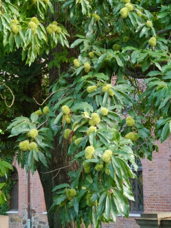 castanea sativa: Sweet chestnuts  castanea sativa  growing in a tree