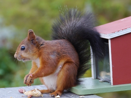 An Eurasian red squirrel  sciurus vulgaris  foraging in a garden in Sweden photo