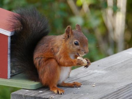 parapet: An Eurasian red squirrel  sciurus vulgaris  foraging in a garden in Sweden Stock Photo