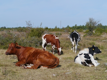 Cows on the fields of the island Oeland in the Baltic sea of Sweden Stock Photo - 22998243