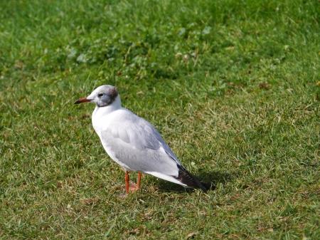 ridibundus: Black-headed gull  larus ridibundus   on the grass