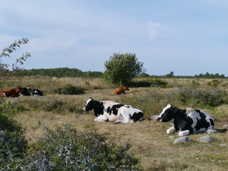 Cows on the fields of the island Oeland in the Baltic sea of Sweden photo