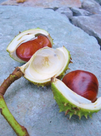 prickling: Gleaming horse chestnuts just out the prickling hull