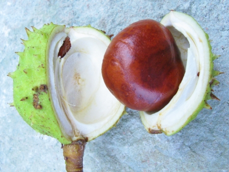 prickling: Gleaming horse chestnut just out the prickling hull