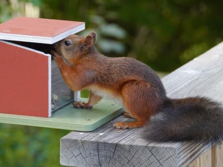 An Eurasian red squirrel  sciurus vulgaris  foraging in a garden in Sweden photo