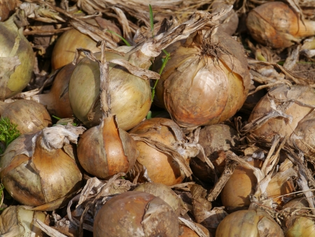 Grubbed onions on a agricultural field on the island Oeland in Sweden photo