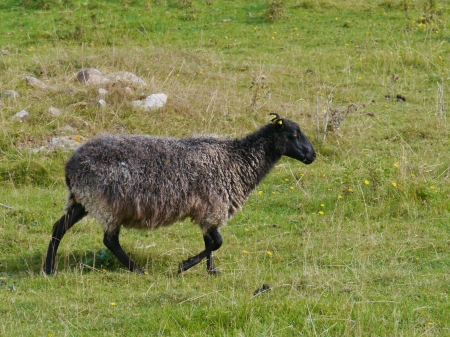 Grey sheep walking in a field on the Island Oeland in Sweden photo