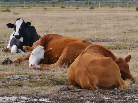Ruminating cows in a Swedish field photo