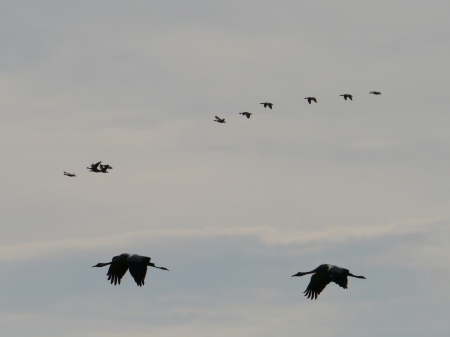oland: The yearly cranes migration on the island Oeland in the Baltic sea of Sweden