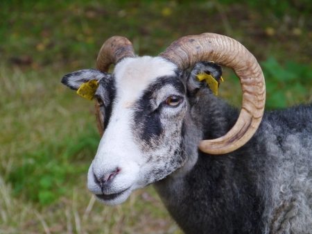 A portrait of a grey goat with horns Stock Photo - 23184031