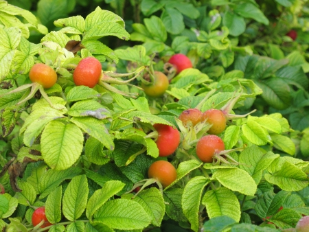 dogroses: A bush with dogroses or rosehips