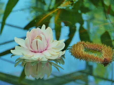 A flowering amazone water lily  Victoria Amazonica  in a pond photo