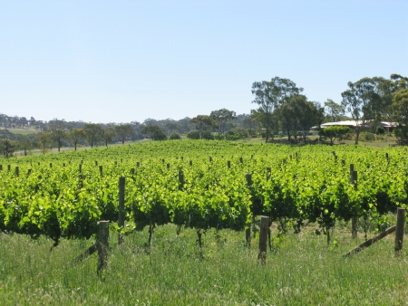 A wine vineyard in spring in the Clare valley in south Australia