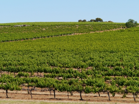 vinery: A wine vineyard in spring in the Clare valley in south Australia