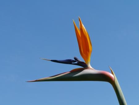 A orange flowering strelitzia plant also called bird of paradise photo