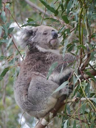 koala  Phascolarctos cinereus  in an Eucalyptus tree in Australia photo