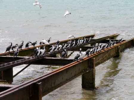 Australian Pied Cormorants  Phalacrocorax varius  also known as the Pied Cormorant or Pied Shag, Stock Photo - 24232335