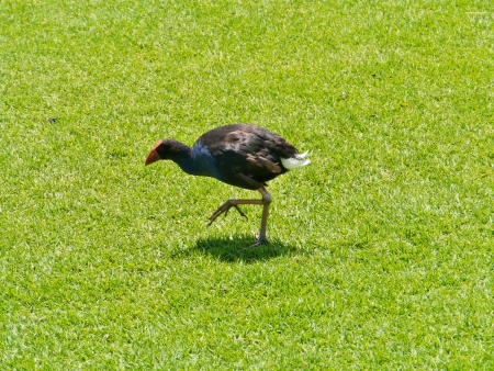 An Australian purple  swamphen  porphyrio porphyrio  in Australia Stock Photo - 24232337