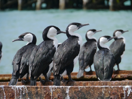 Australian Pied Cormorants  Phalacrocorax varius  also known as the Pied Cormorant or Pied Shag, photo