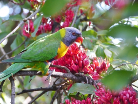 Rainbow lorikeet  Trichoglossus haematodus  in a flowering weeping boerboon tree  schotia brachypetala  photo