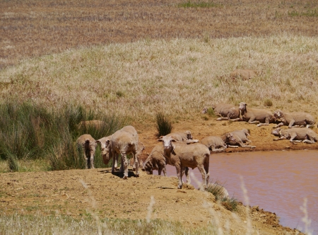 Australian sheep at the waterfront of a pool in the desert of Australia photo